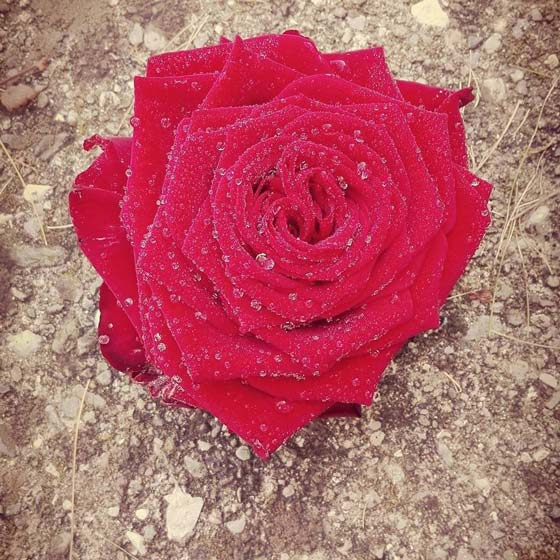 ueber-uns-rote-rose